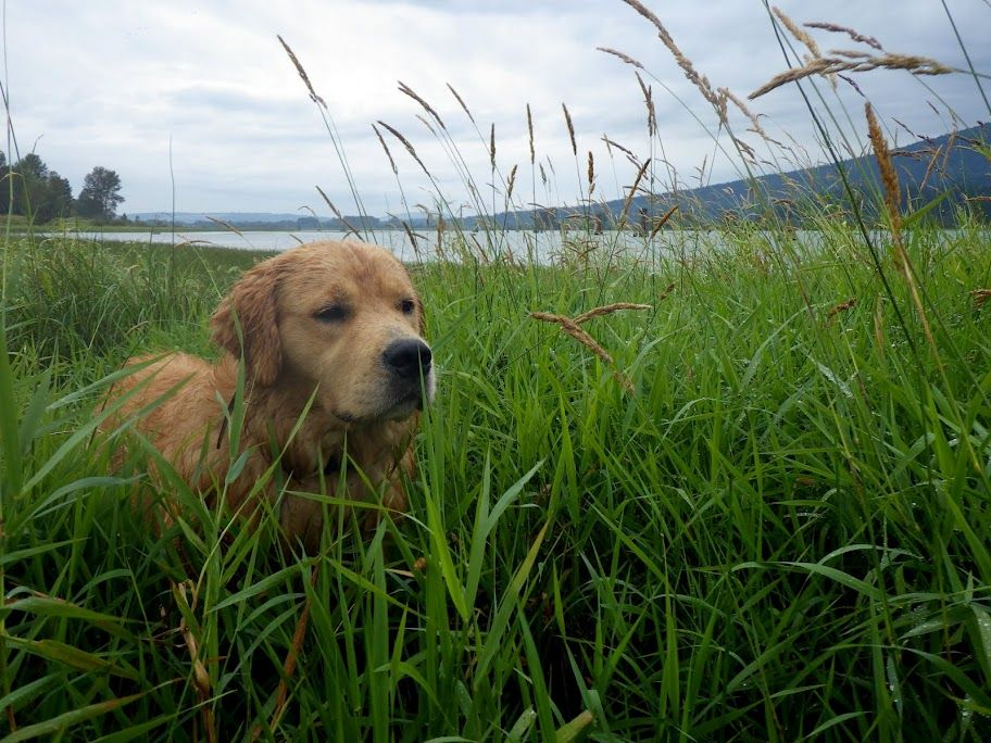 This Is Oscar A Beautiful Golden Retriever From Vancouver Whose