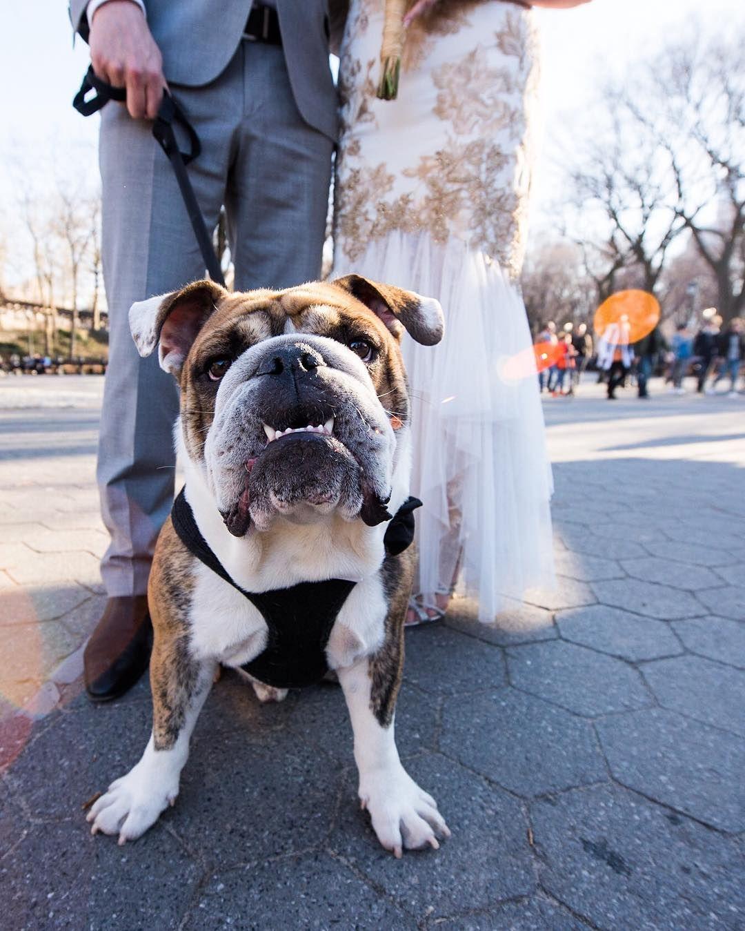 Buford English Bulldog 1 Y O Central Park New York Ny We Re