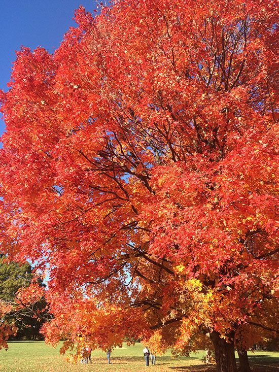 Beautiful fall color makes Acer saccharum sugar maple one of the