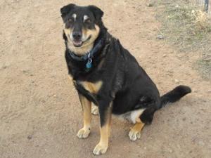 Petango Com Meet Megan A 13 Years 4 Months German Shepherd Siberian Husky Available For Adoption In Scottsdale Az Animal Help Pets Animal Abuse