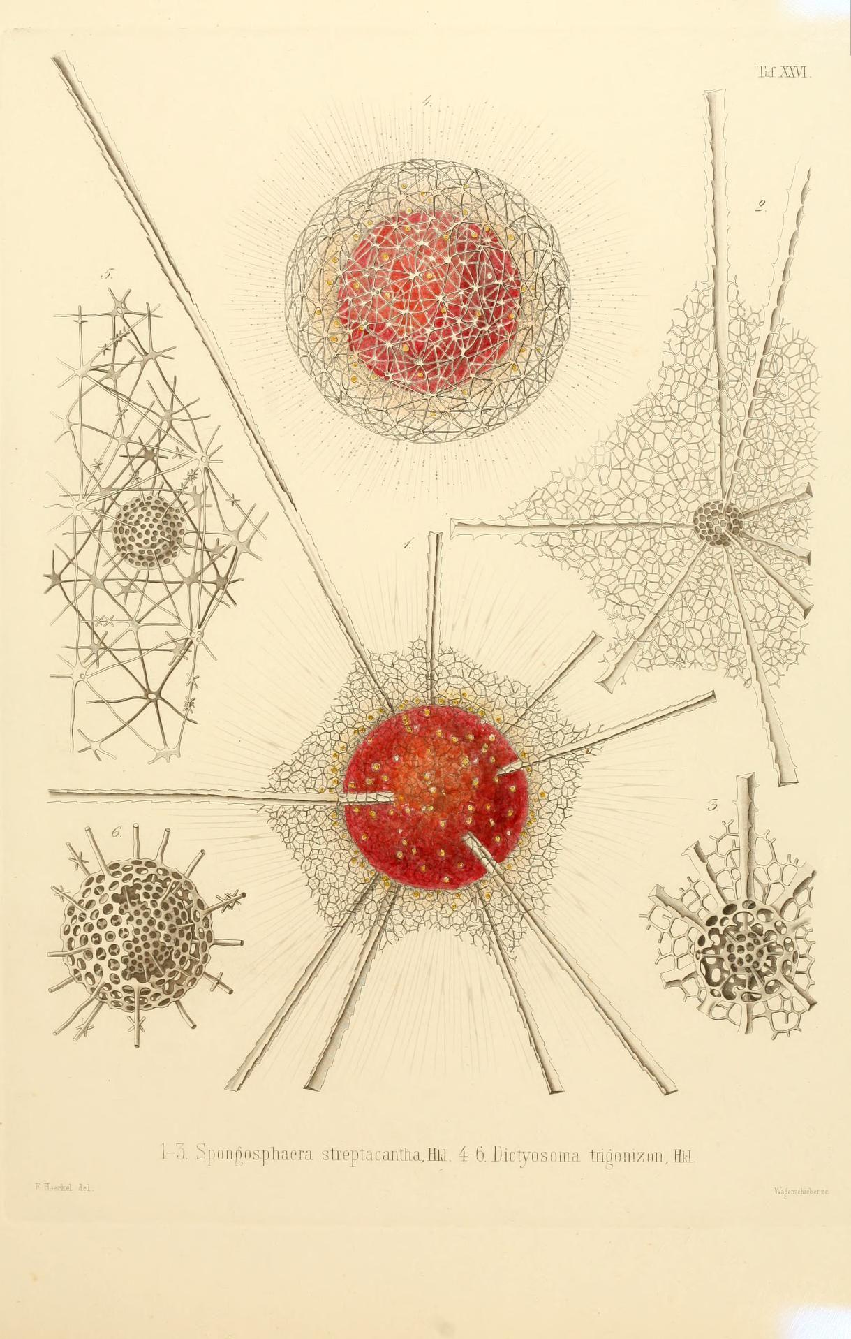 Art-Haeckel-Microscopic-Radiolarian-Haeckel-12.jpg 610×959 pixels