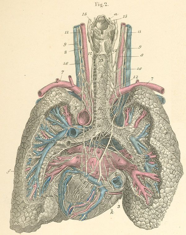 The heart and lungs seen from behind, along with the airway, blood ...