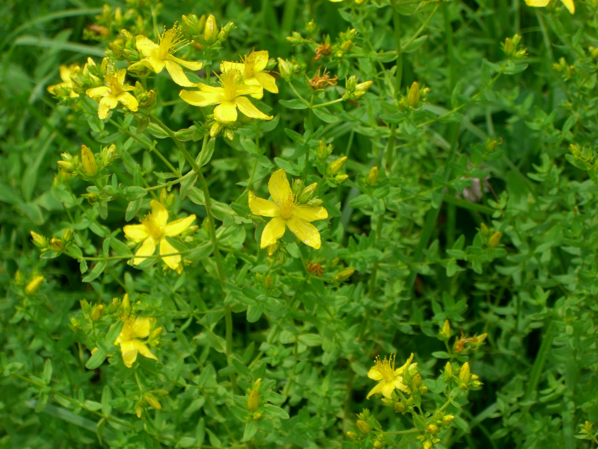 St Johns Wort Common Good Farm Pasture Flowers Pinterest