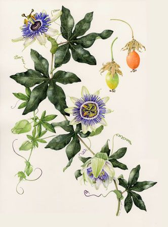Passiflora Passion Fruit Flower Blue Passion Flower Flower Drawing