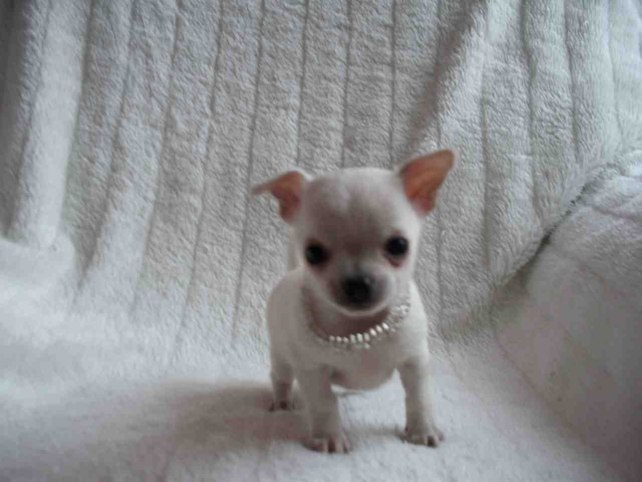 Teacup Chihuahua Puppies Manchester Greater Manchester Teacup Chihuahua Teacup Chihuahua Puppies Chihuahua Puppies