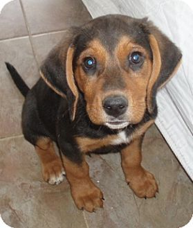 Rutledge Tn Beagle Black And Tan Coonhound Mix Meet Sammy A