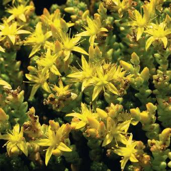 Byliny Ozdobne Do Ogrodu Katalog Roslin Zielony Ogrodek Strona 4 Plants Sedum