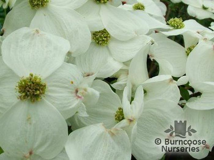 Buy Cornus Florida Cloud Nine Plants From Burncoose Nurseries Flowering Dogwoods Ornamental Trees Plant Pictures Plants