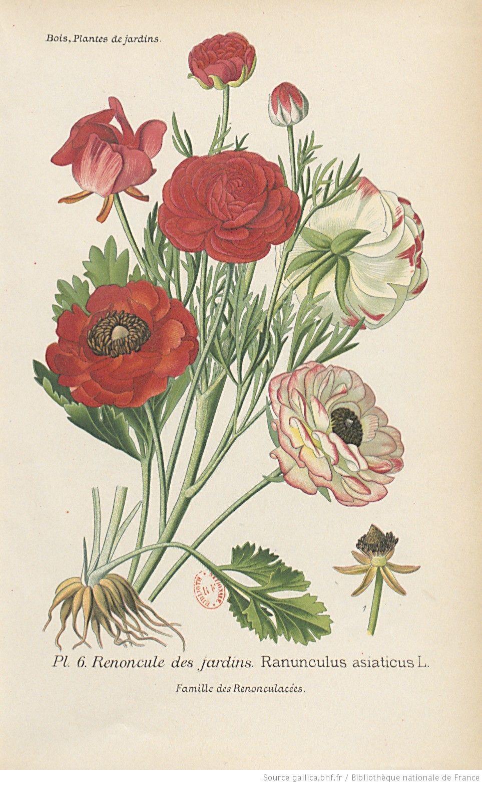 Renoncule des jardins, Atlas des plantes de jardins et d