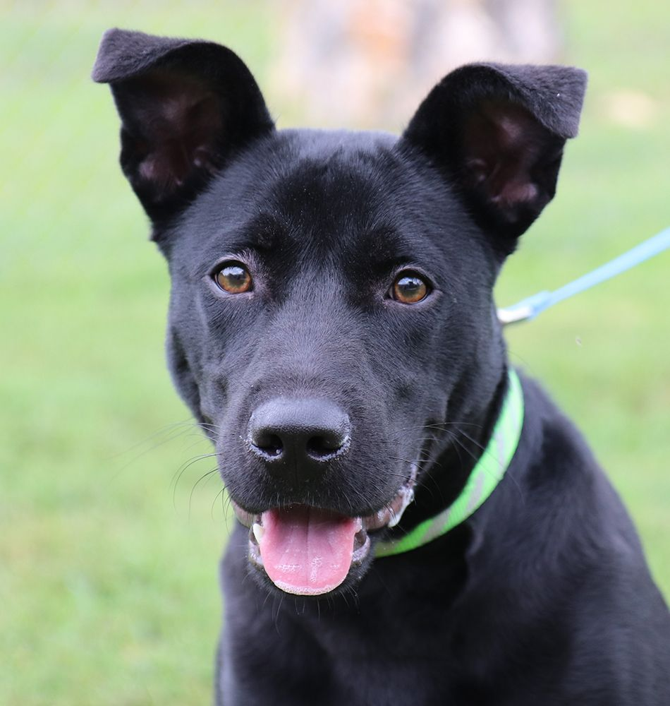 Adopt Churro On Shepherd Mix Dog Pet Adoption Labrador Retriever