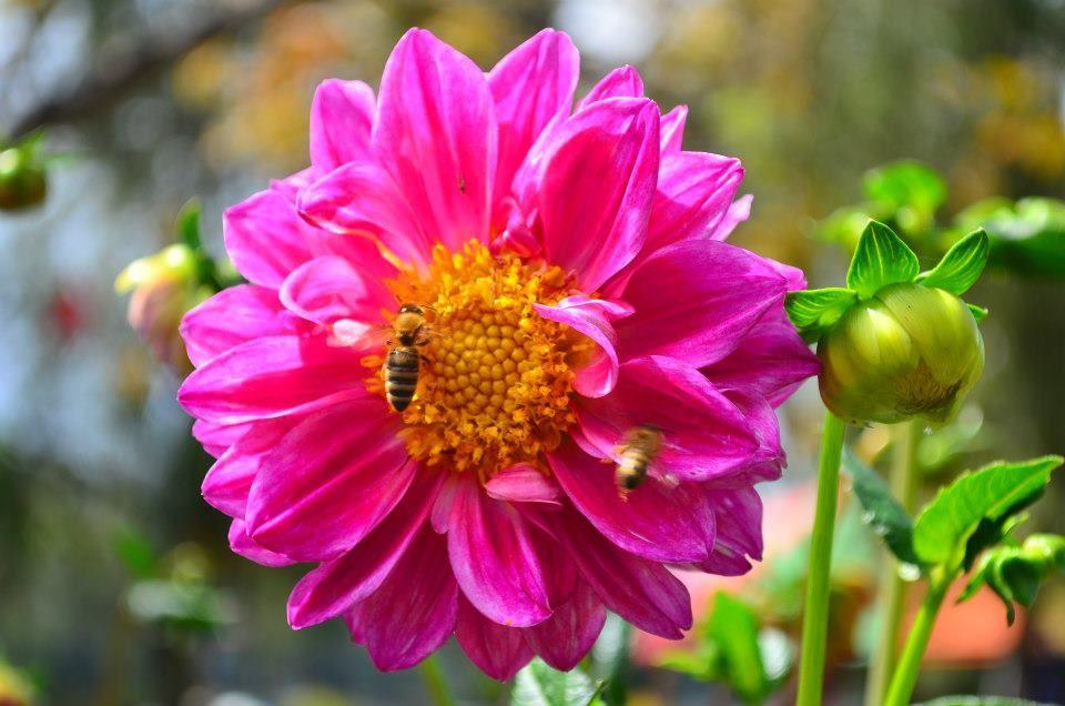 pink dahlia Flower photos, Dahlia flower, Flowers