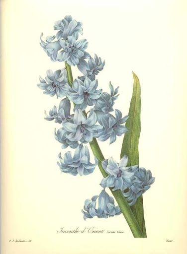 Hyacinth - Pierre Joseph Redoute