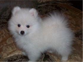 American Eskimo Pup Looks Like The Toy Size American Eskimo