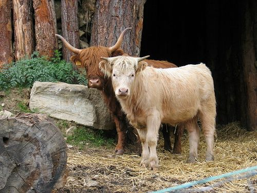 Highland cattle are better at adapting to rough foraging and steeper slopes.