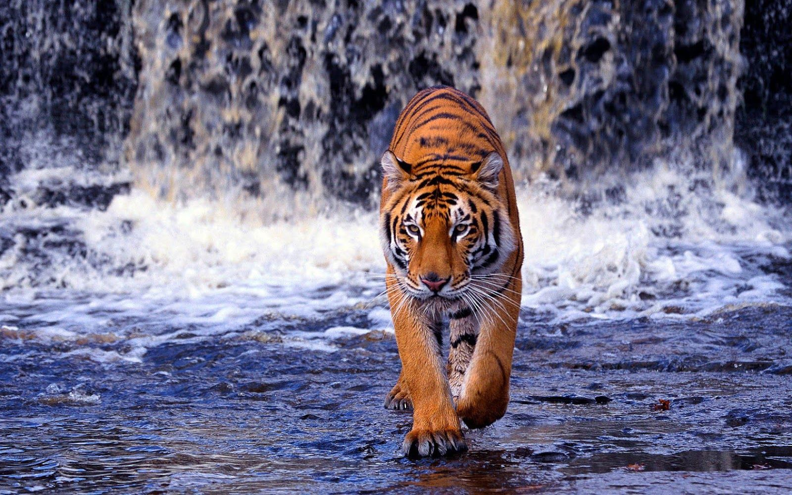 Tiger Wallpapers Hd Backgrounds 1600 1000 Tiger Image Wallpapers 38 Wallpapers Adorable Wallpapers Tiger Wallpaper
