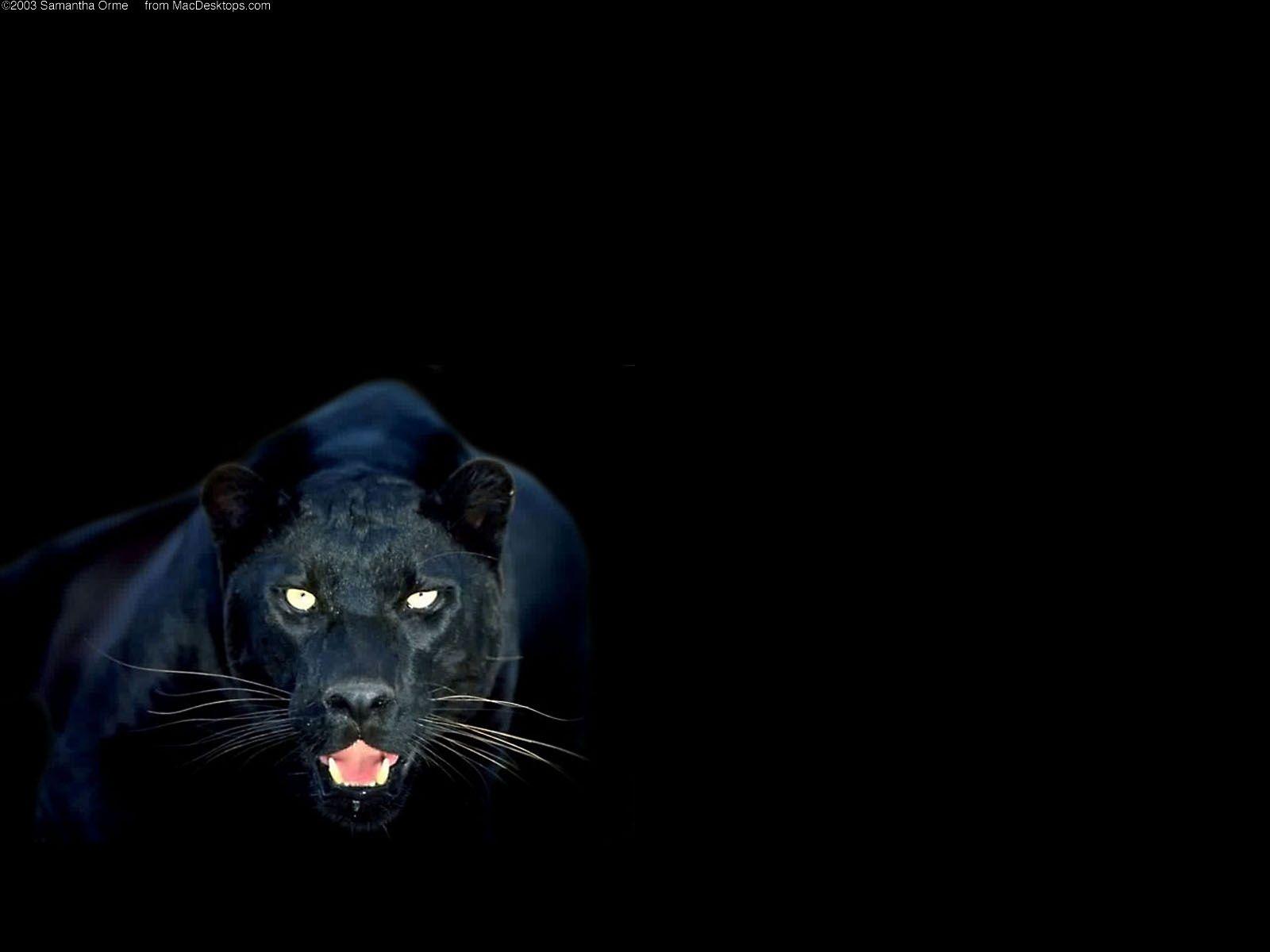 black puma hd wallpaper
