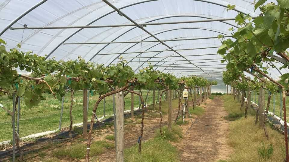 Grape expectations growing up in high tunnels in 2020