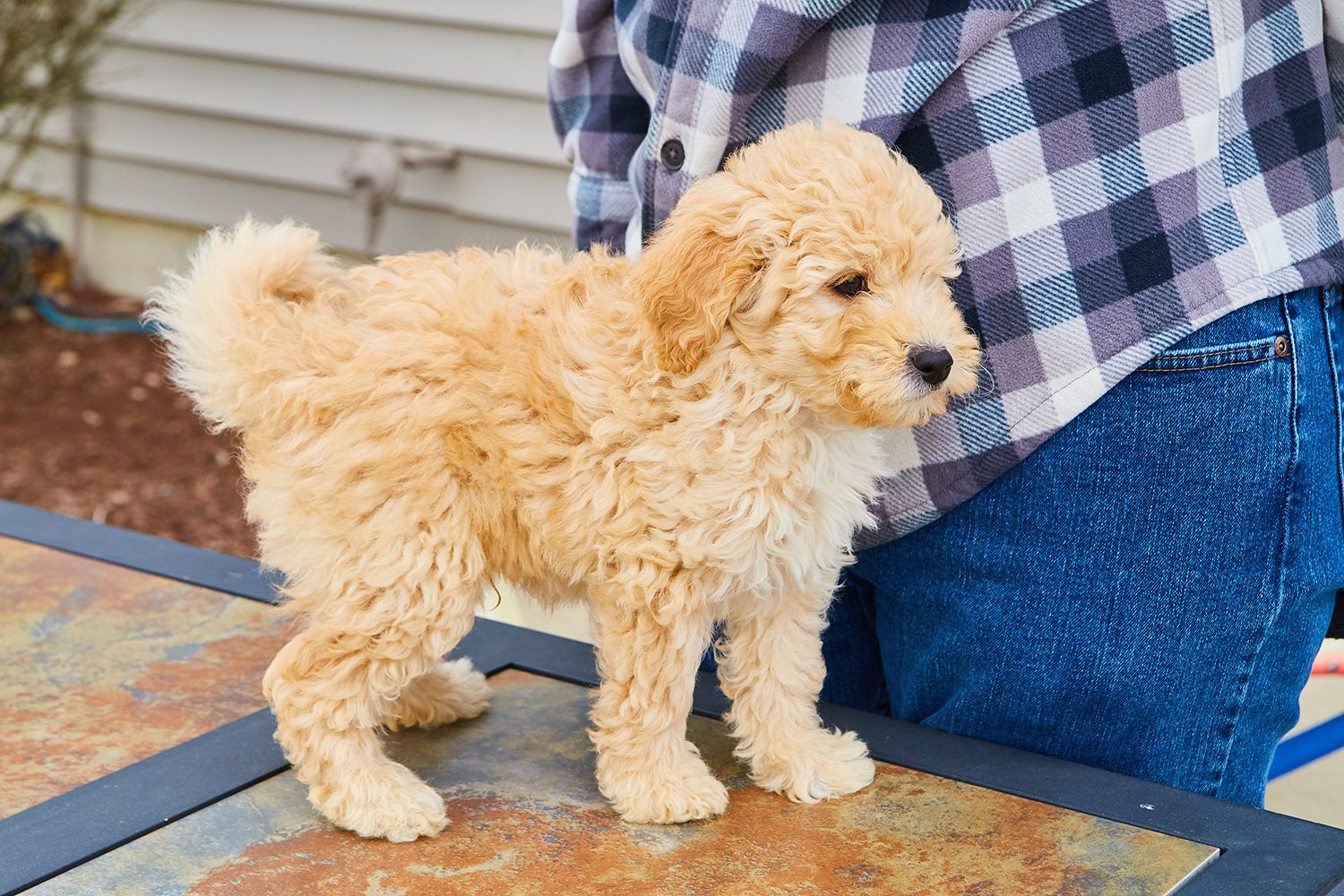 I Am A F1 Mini Goldendoodle Who Will Stand By You Loyalty Is My Middle Name My Siblings And I Are All Looking Puppies F1 Mini Goldendoodle Mini Goldendoodle