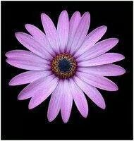 a9479d892 Aster September flower | Tattoos | Aster tattoo, Aster flower ...