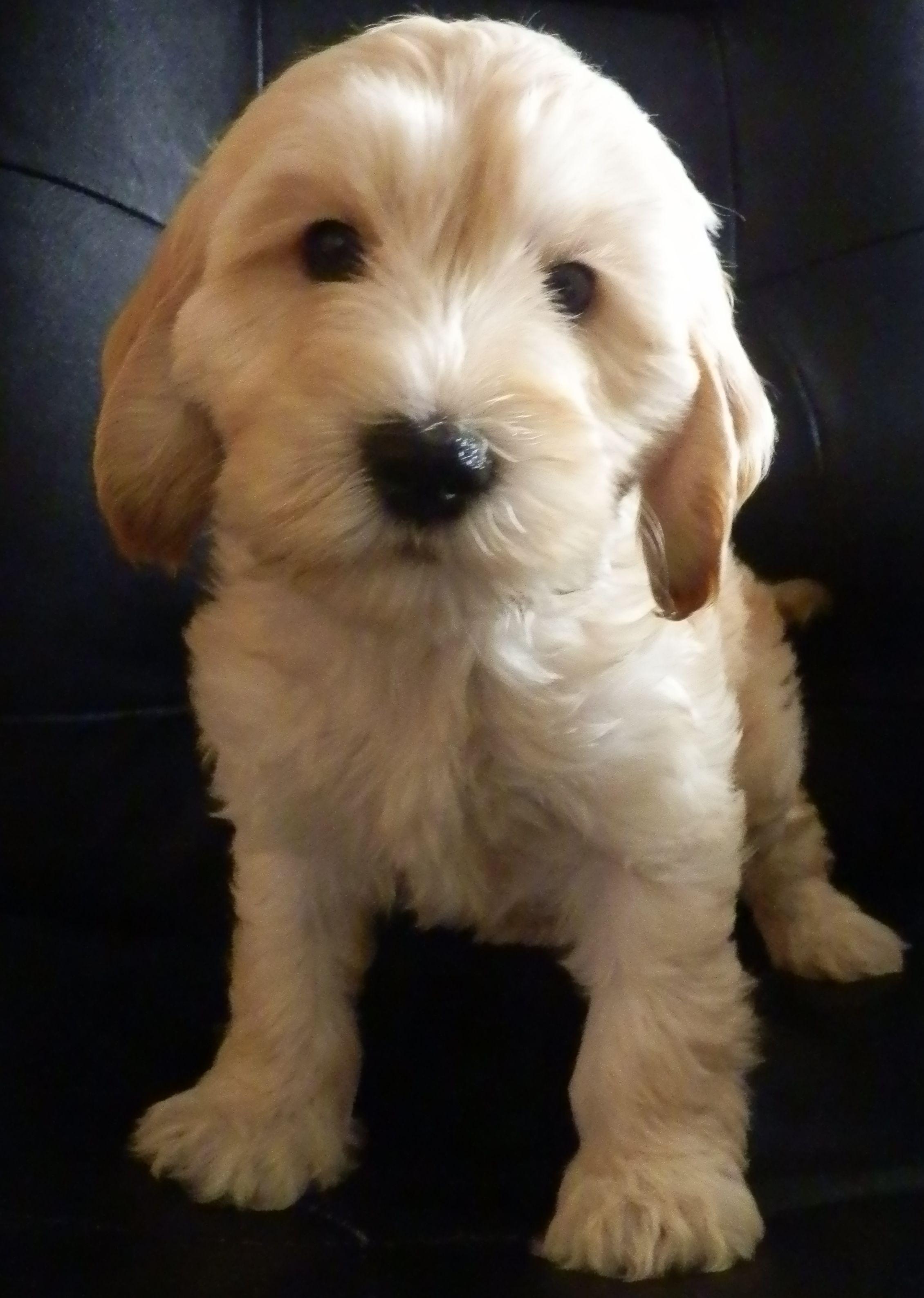 Cockapoo Puppies Scotland Breeders 2021