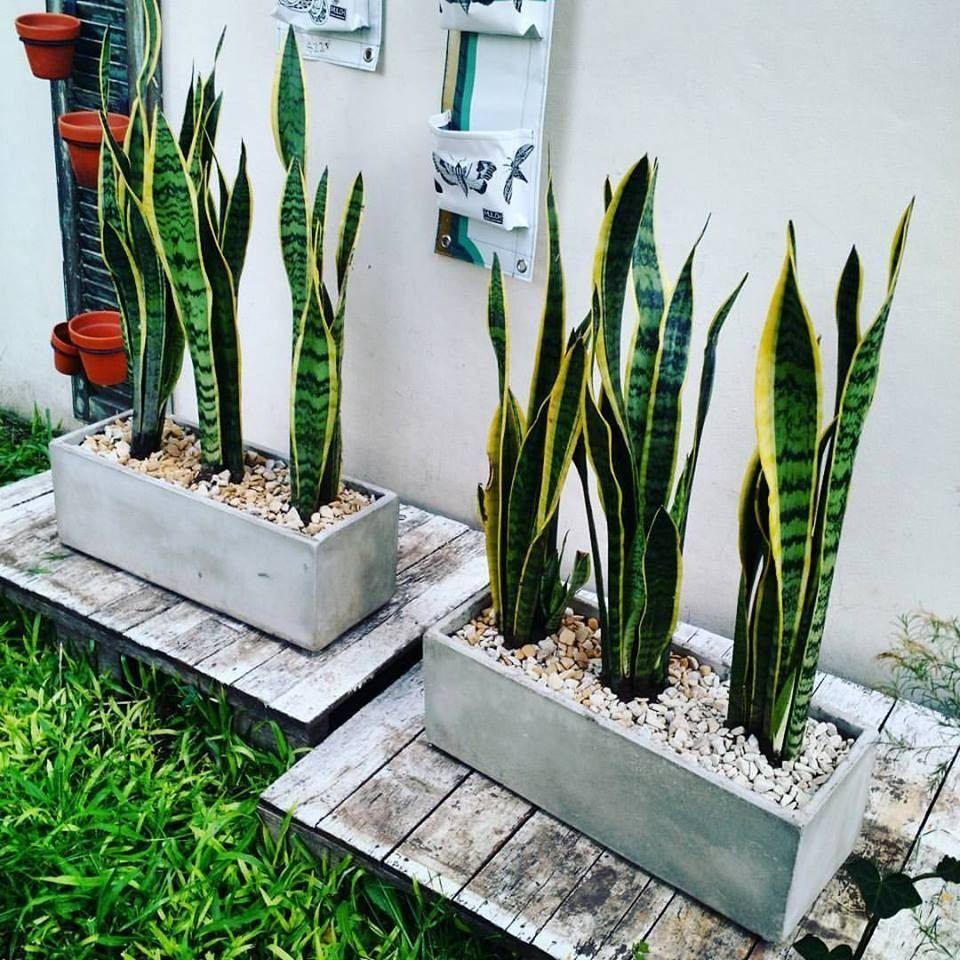 Sansevieria trifasciata «lengua de suegra» | Plantas pequeñas de interior, Decoración de patio exterior, Plantas de exterior