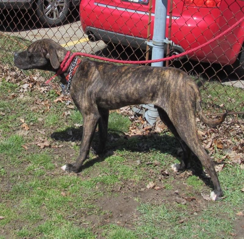 Adopt 16 Dale/Transfered humane society on Great dane