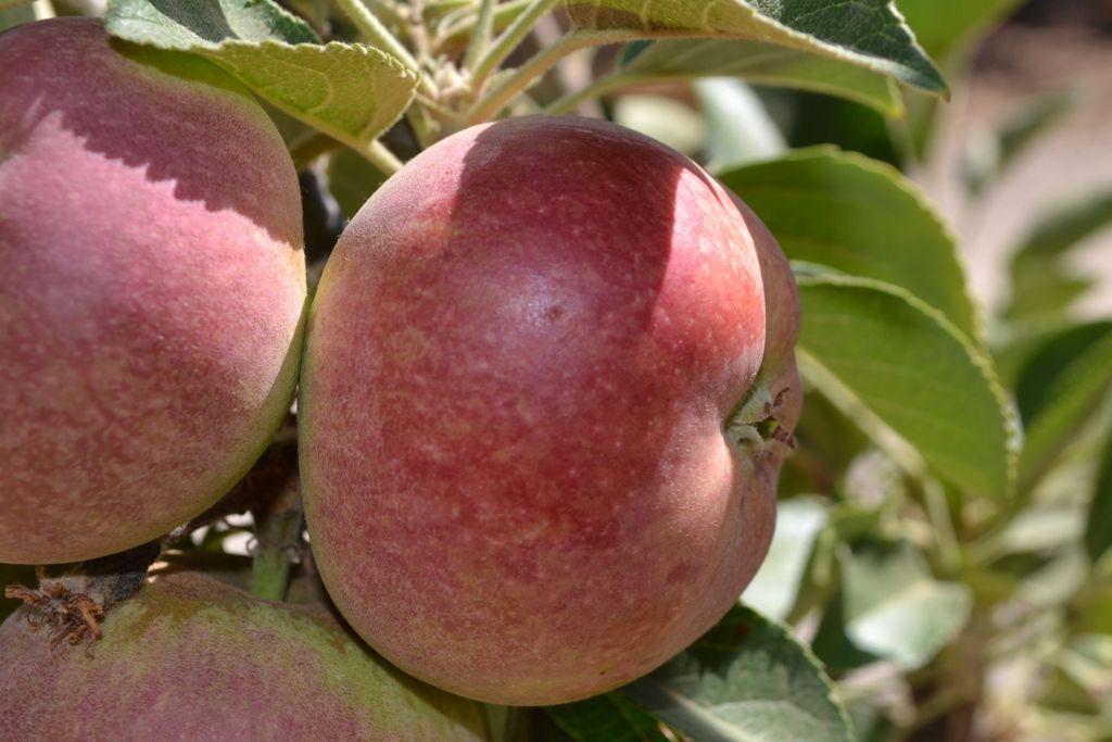 Heirloom Fruit Trees For Home Farm Trees Of Antiquity Rooted Organic Fruit Trees Fruit Tree Nursery Apple