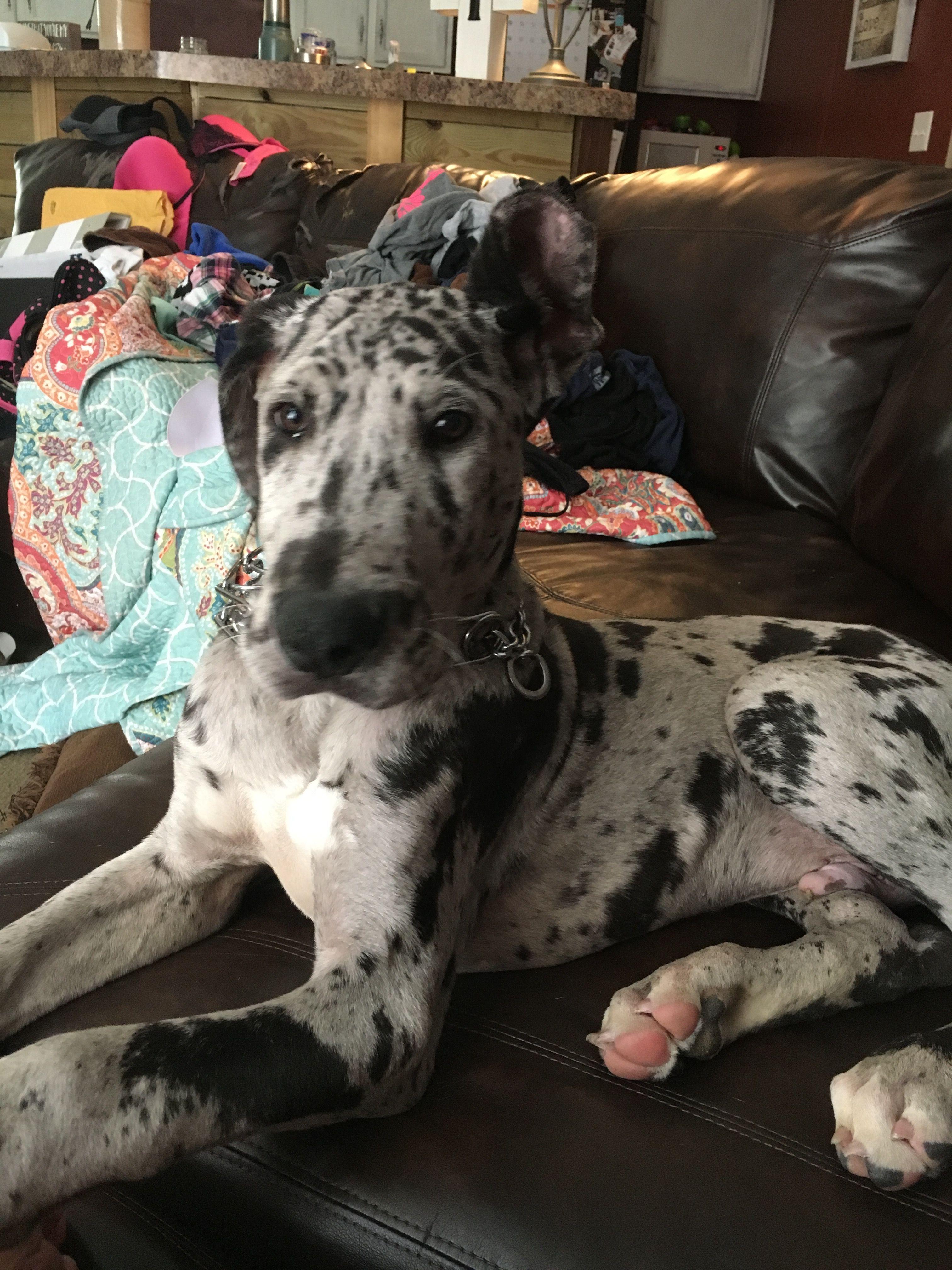 Winston 19 Weeks He S So Big And So Smart Great Dane Puppy Dane Puppies Great Dane