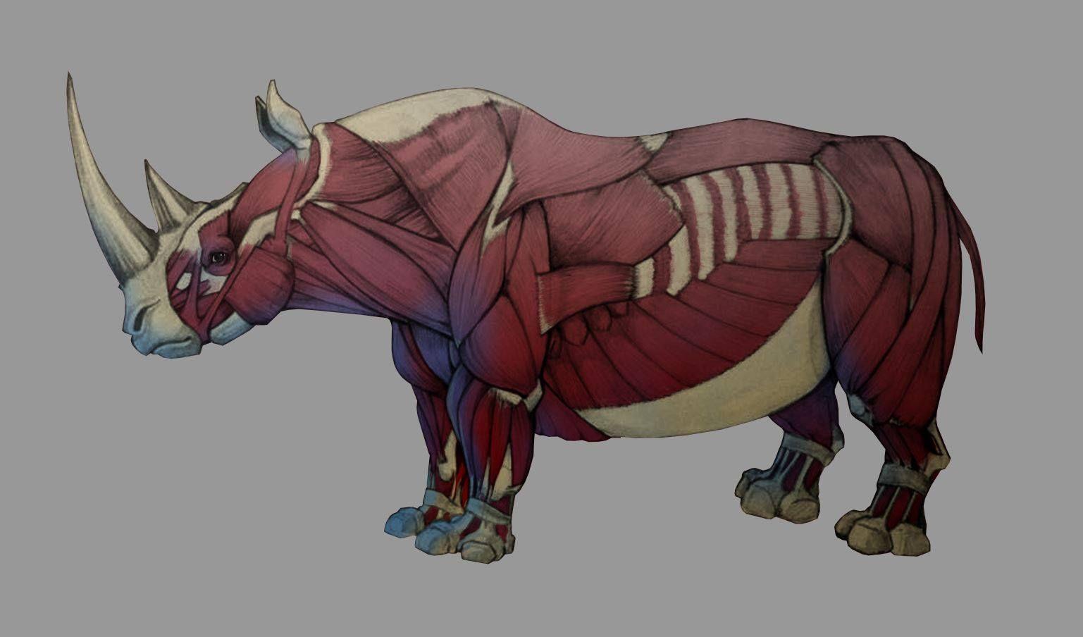 Rhino Anatomy Study | Animal drawings, Animals artwork ...