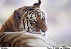 The Shambala Preserve presented by The Roar Foundation - Thriller