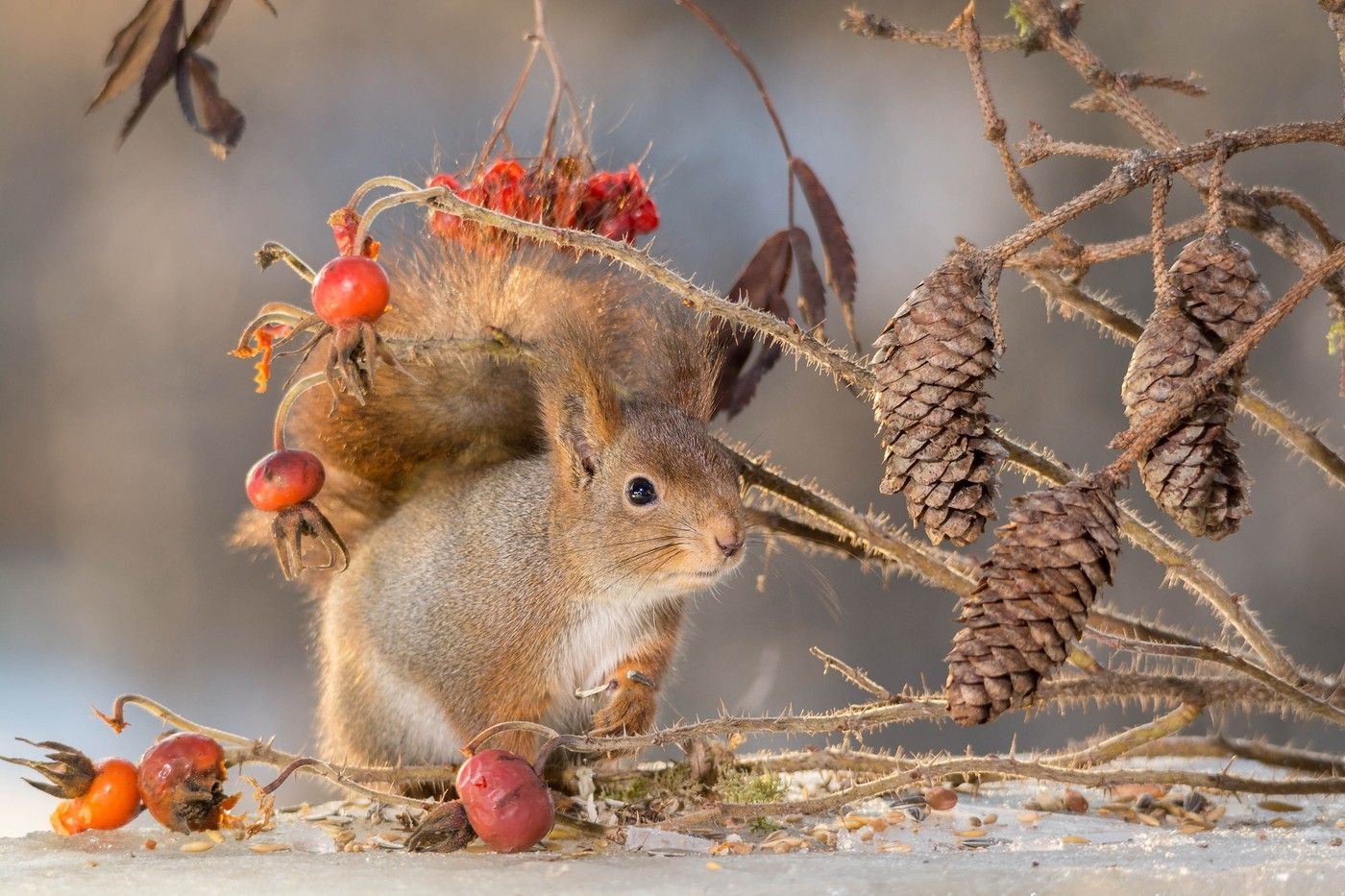 Red squirrels do not face same threat in Sweden as in Britain, where they are being decimated by American greys,  photo Geert Weggen