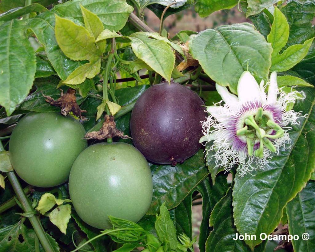 black passionfruit on fence next to lemon bush Passion