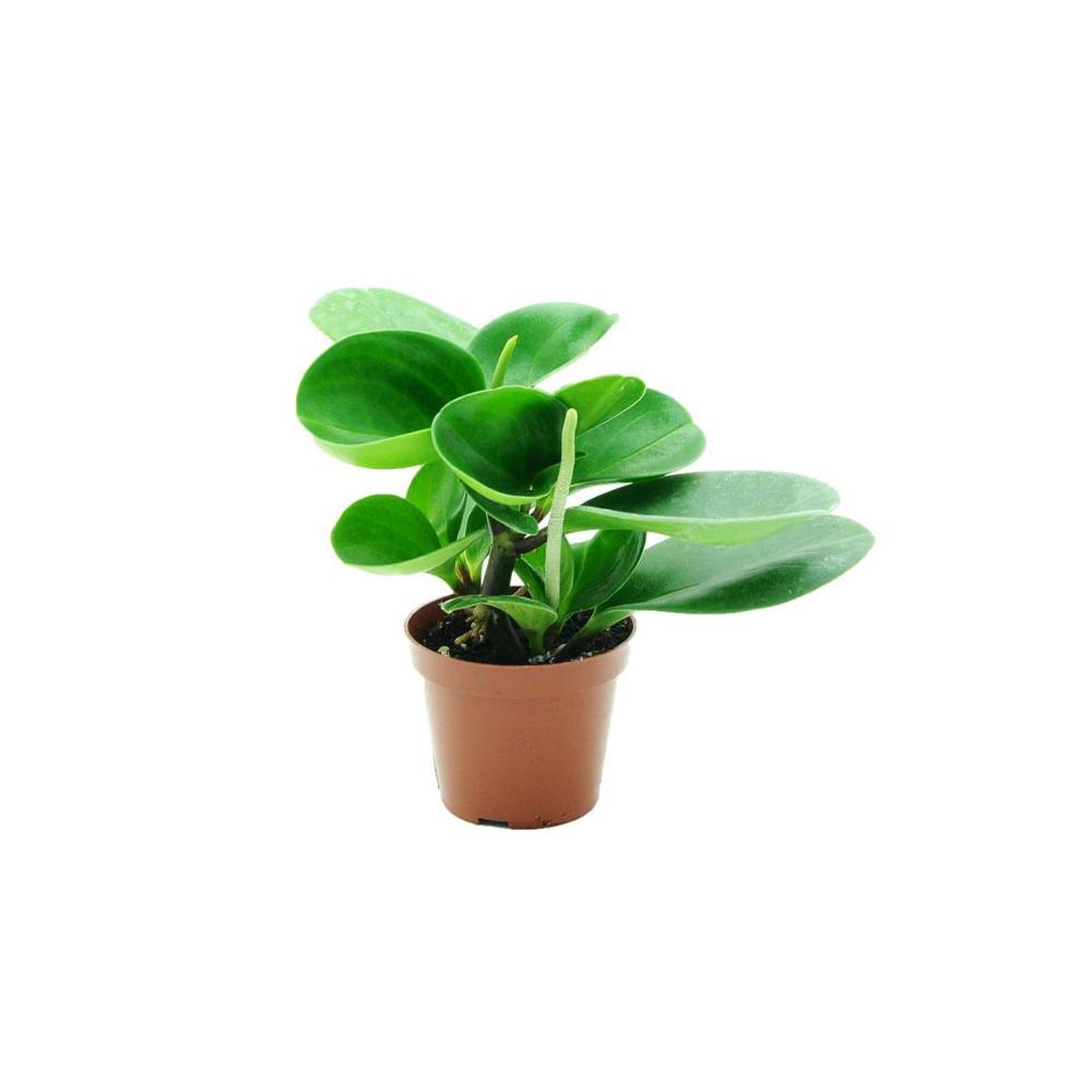 Peperomia Mix 10 Cm Kwiaty Doniczkowe W Atrakcyjnej Cenie W Sklepach Leroy Merlin Peperomia Plants 10 Things