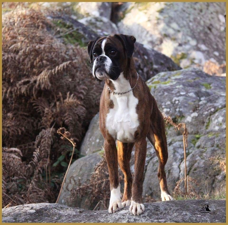 Boxer Dog Chained To An Abandoned Building Gets Rescued And Transformed By An Amazing Woman Boxer Dogs Boxer Dog Pictures Boxer Dog Breed