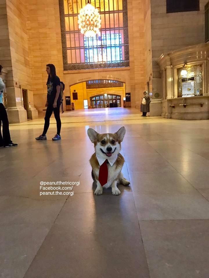 Professional Corgi In New York Corgi Corgi Pictures Baby Corgi