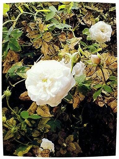 Organic roses. Beauty and loss.
