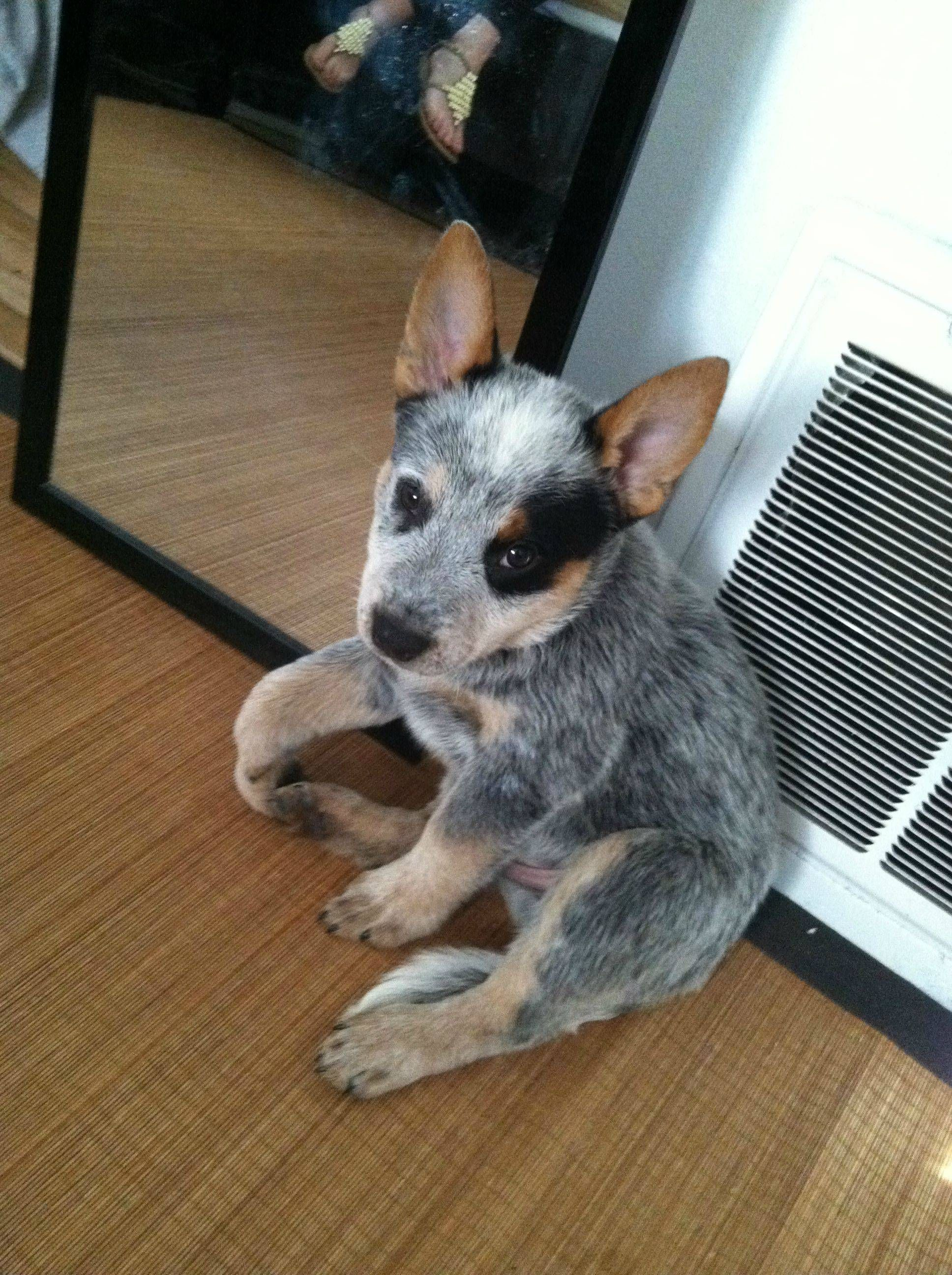 Did I Miss The Blue Heeler Karma Train Meet My Originally Named Puppy Blue Cattle Dog Puppy Australian Cattle Dog Puppy Heeler Puppies