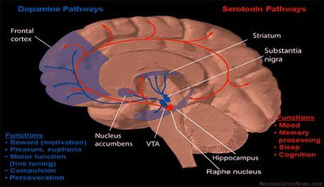 Dopamine and serotonin pathways in human brain psych nurse i am dopamine and serotonin pathways in human brain ccuart Images