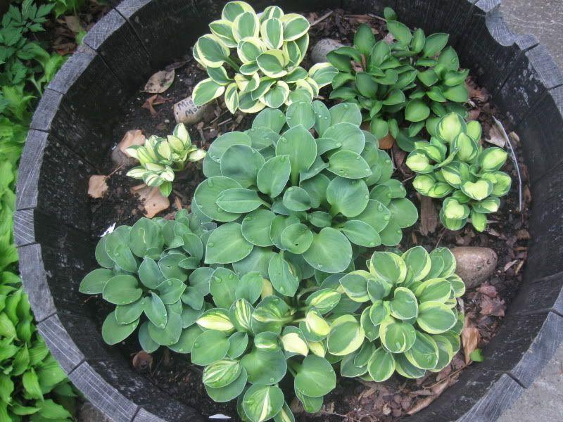 Mini Hosta Garden Love This Everything Outdoors Hosta