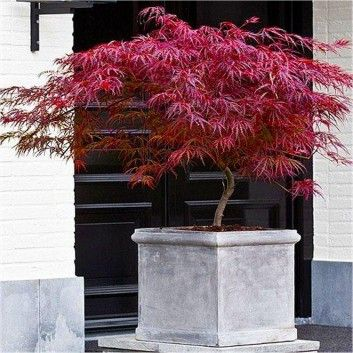 SPECIAL DEAL - Acer palmatum dissectum Firecracker - Japanese Maple - Special Deals - Garden Plants