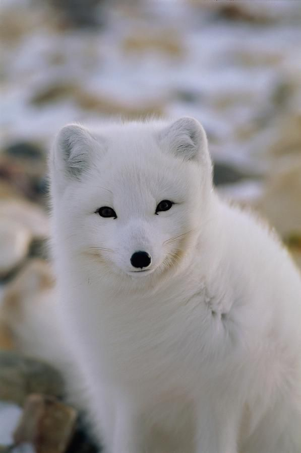 A Close View Of An Arctic Fox Photograph A Close View Of An Arctic Fox Fine Art Print Arctic Fox Animals Cute Animals