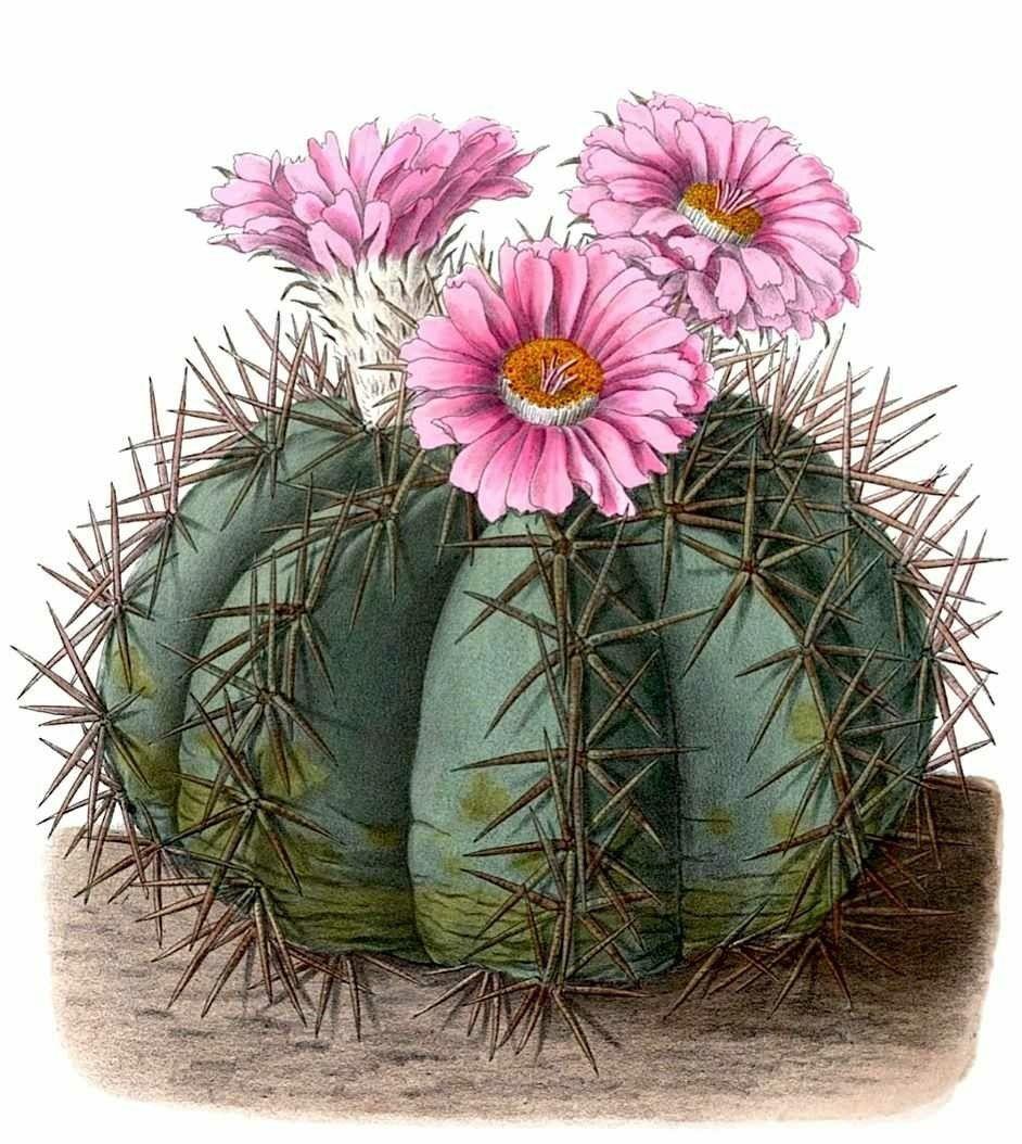 картинки для декупажа кактусы