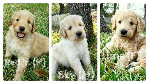 Goldendoodle Puppy For Sale In Austin Tx Adn 24076 On