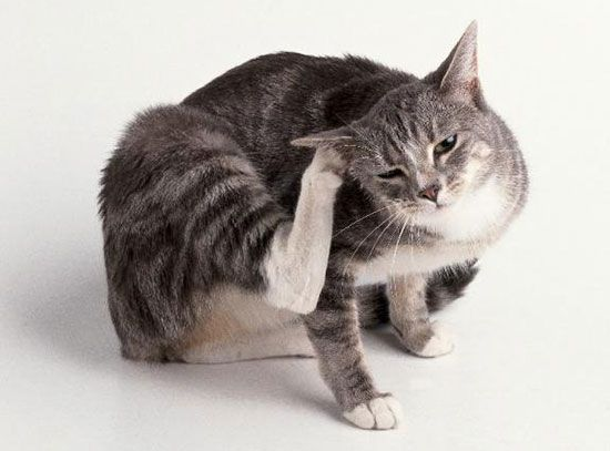 Ear Mites In Cats The Ear Mite Is The Causative Agent Otodektoza Or Ear Itchy Unpleasant And Dangerous For The Cat Of Disease In Advanced Cases Ot Blohi Koshki