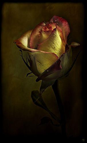 The Yellow Rose | Розы, Красивые цветы, Розовые розы