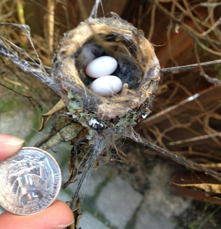 Hummingbird eggs Baby hummingbirds, Hummingbird nests