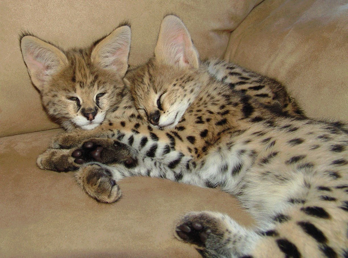 Serval Kittens Serval Kitten Sleeping Kitten Pretty Cats