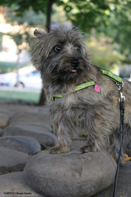 Funny Hairy Face Cairn Terrier Terrier Animals