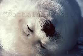 Gorgeous Harp Seal Pup nappin'