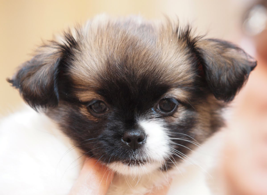 Shih Tzu Chihuahua Mix Chihuahua Mix Puppies Chiweenie Puppies Cute Dog Mixes